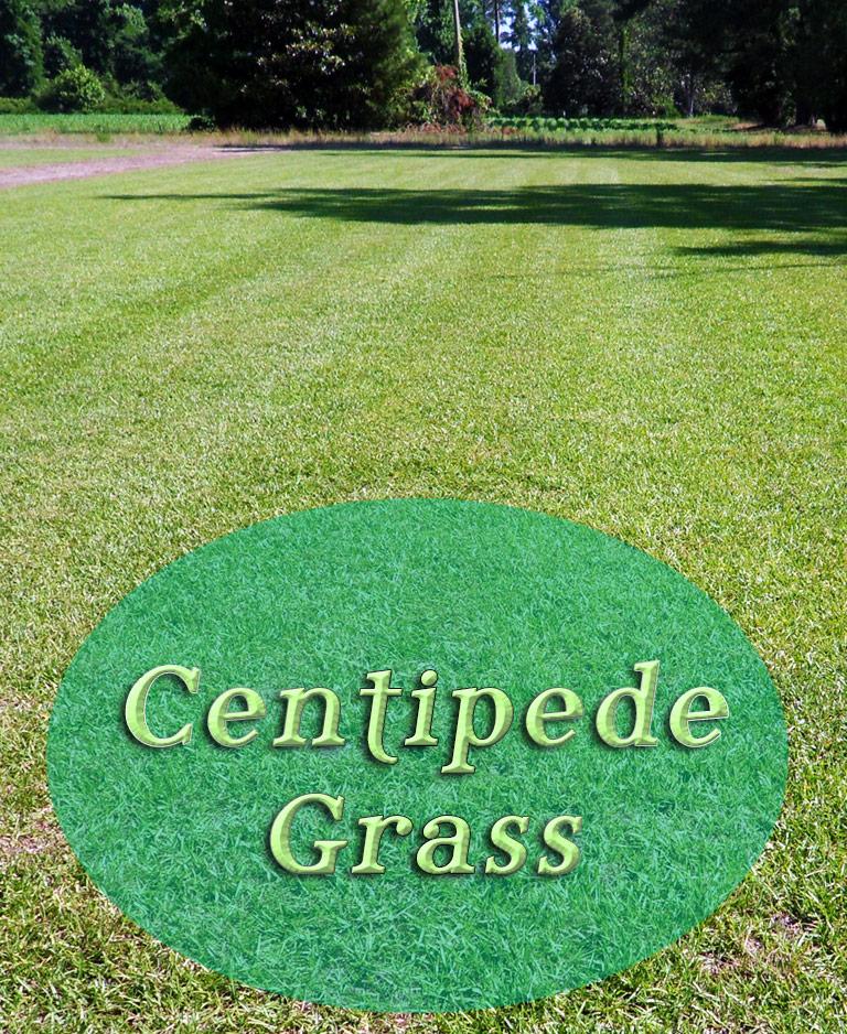 Quiet Corner Centipede Grass