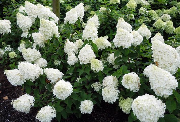 How to Grow Healthy, Happy Hydrangeas