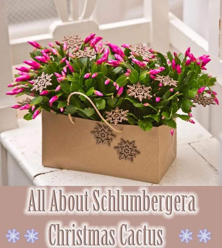 All About Schlumbergera - Christmas Cactus