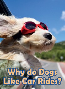 Dogs Behavior – Why do Dogs Like Car Rides?