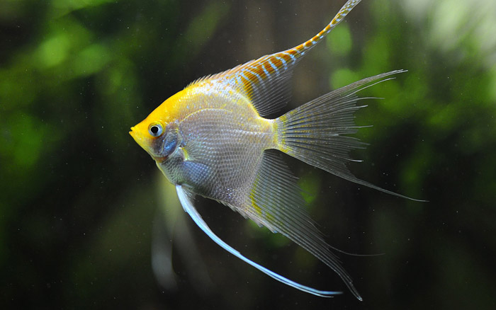 There are many different types of angelfish to choose from in addition to the varieties covered. No matter what your taste is in coloration or pattern, you will find an angelfish to suit you