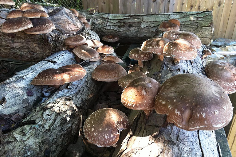 How to Grow Your Own Shiitake Mushrooms - Quiet Corner