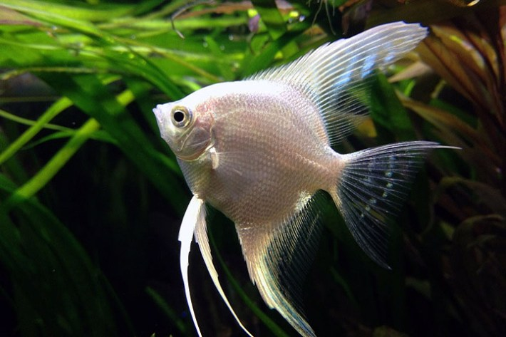 Angelfish - General Care and Breed Info
