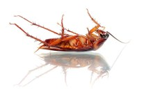 How to Get Rid of Roaches Naturally