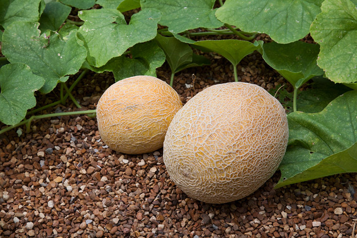 Gardening Guide - How To Grow Cantaloupe - Quiet Corner