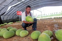 Guinness World Record: Watermelon Plant Yields 131 Fruit