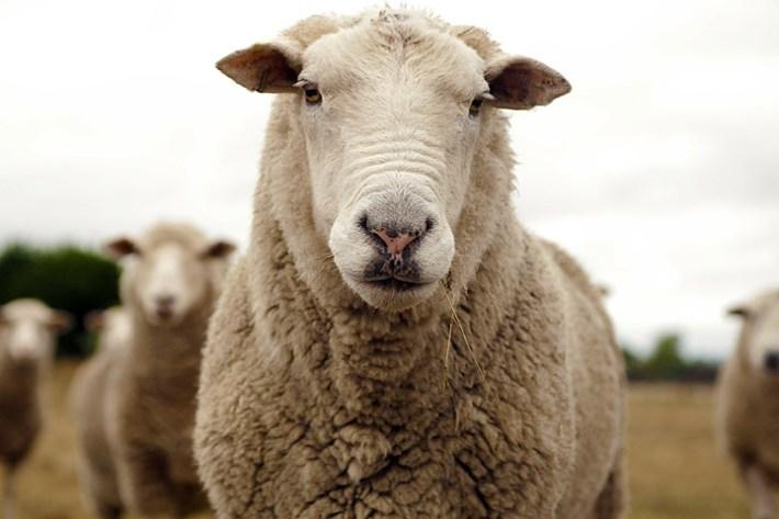 Quiet Corner Health Benefits Of Sheep Milk Quiet Corner