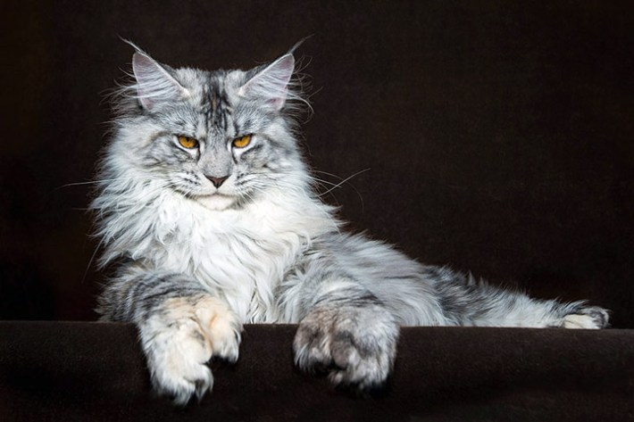 "Strikingly Beautiful Portraits of ""Cats Kings"" - Maine Coons"