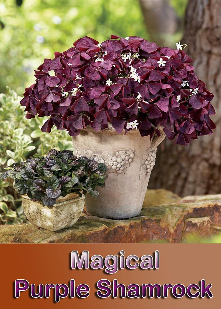 Magical Purple Shamrock - Info and Care - Quiet Corner
