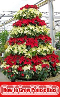 How to Grow Poinsettias