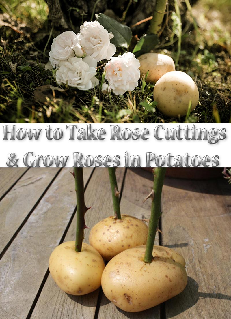 Propagation of roses cuttings in potatoes 55