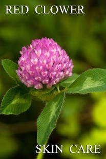 Red Clover is Amazing for Your Skin