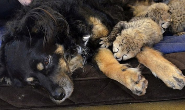 Cheetah cubs get 'nanny' dog at Cincinnati Zoo