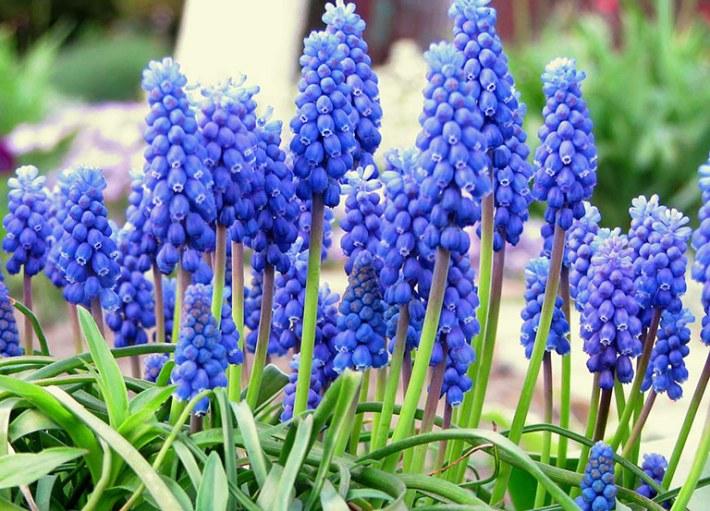 How to Grow Beautiful Grape Hyacinth