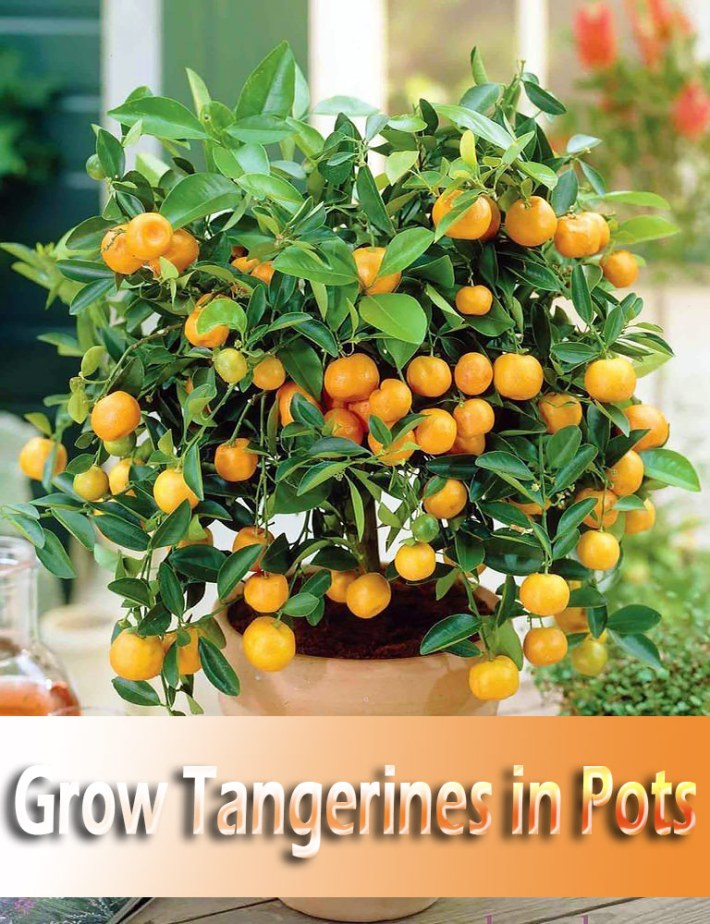 How to Grow Tangerines in Pots