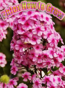 Phlox How to Grow