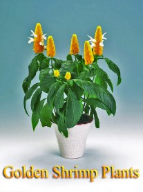 Growing Golden Shrimp Plants Indoors