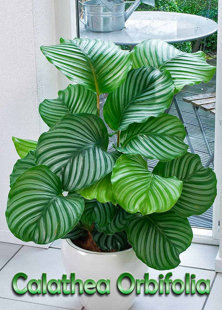 quiet corner how to grow and care for calathea orbifolia quiet corner. Black Bedroom Furniture Sets. Home Design Ideas