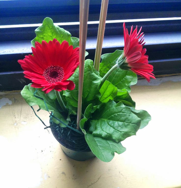 Gerbera Houseplants: Growing Gerbera Daisy Indoors 3