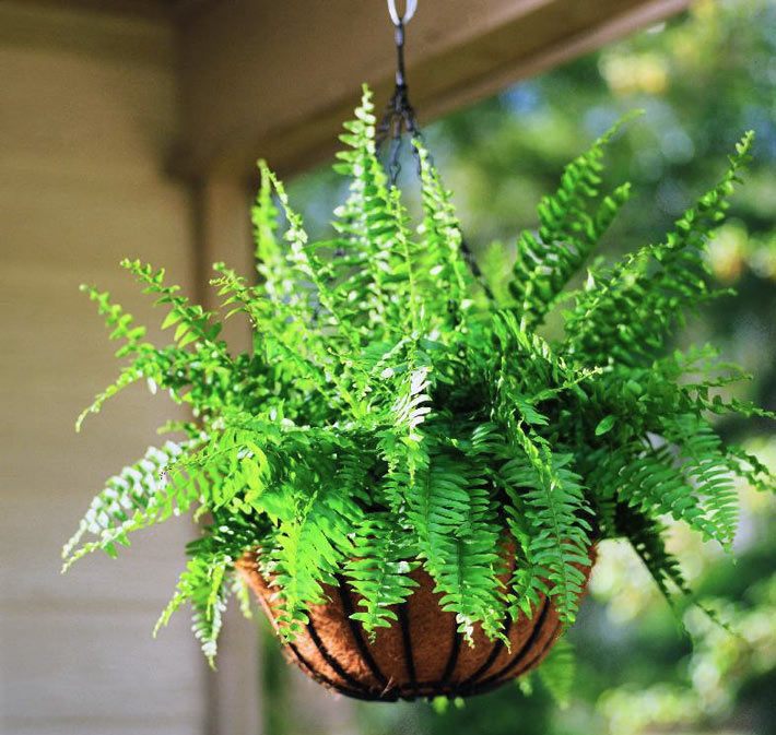 How To Take Care Of A Boston Fern 5