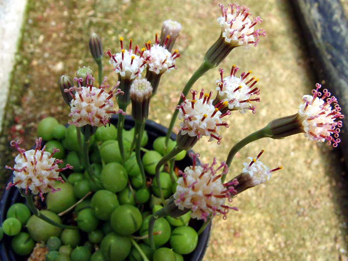 How to Grow and Care for a String of Pearls 4