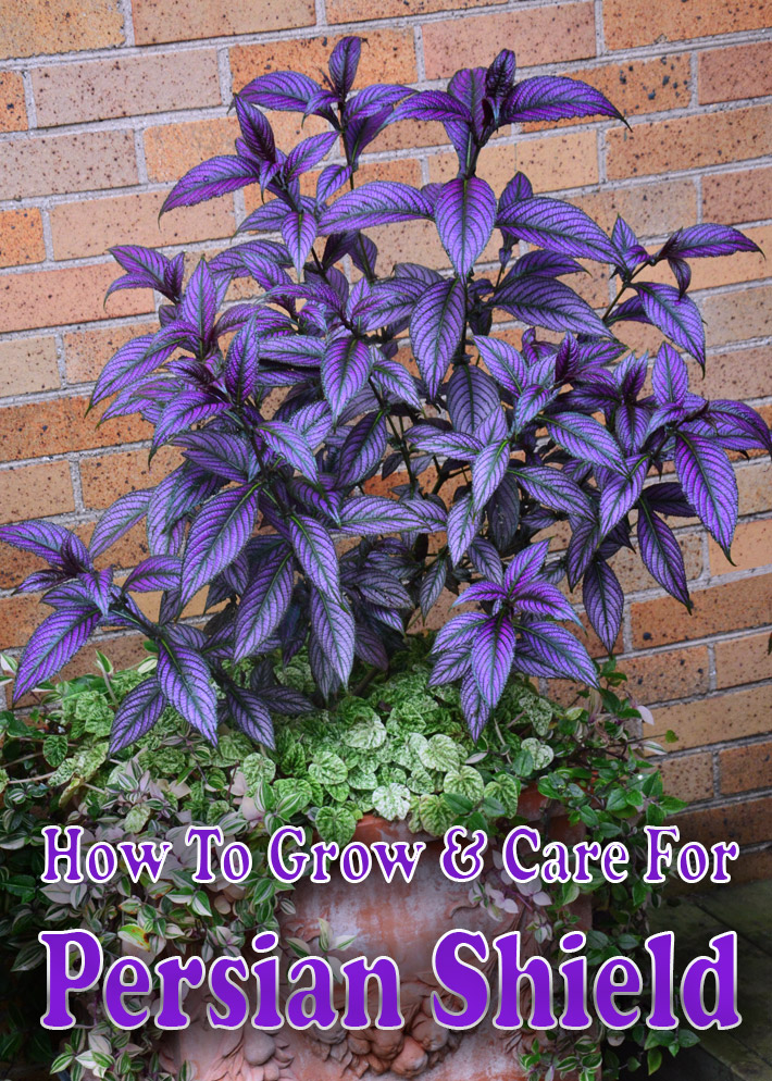 How To Grow & Care For Persian Shield - Quiet Corner