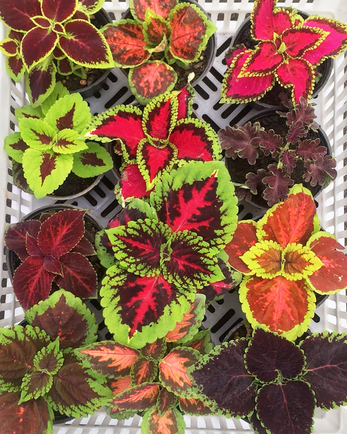 Growing Coleus as a Houseplant