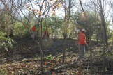 Removing Honeysuckle from Forest Park