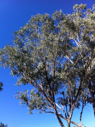 5 Blue sky gumtree_1907