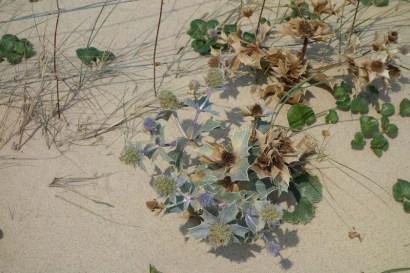 Sand thistle, Cap Ferret