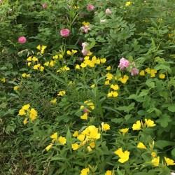 primroses and roses