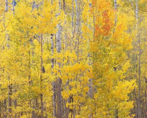 Stand of Aspen