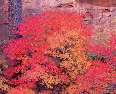 Canyon Wall Maple