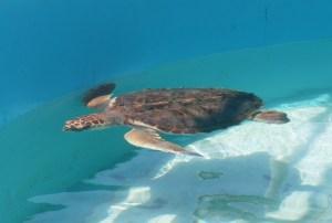 @TortugranjaIM contabilizó 40 mil 651 huevos de tortuga marina en @IslaMujeresGob