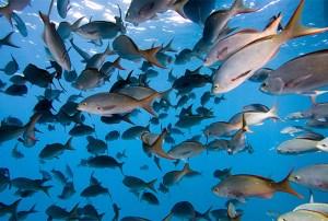 Disminuye el número de peces por calentamiento global