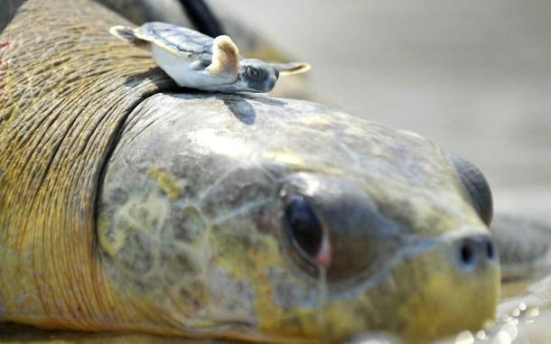 baby turtle on big turtle