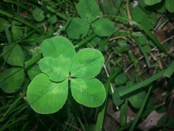 Five Leaf Clover