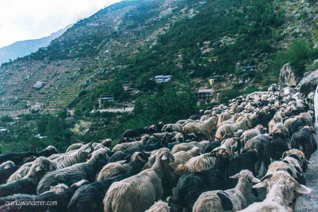 herds of sheep in Sangla