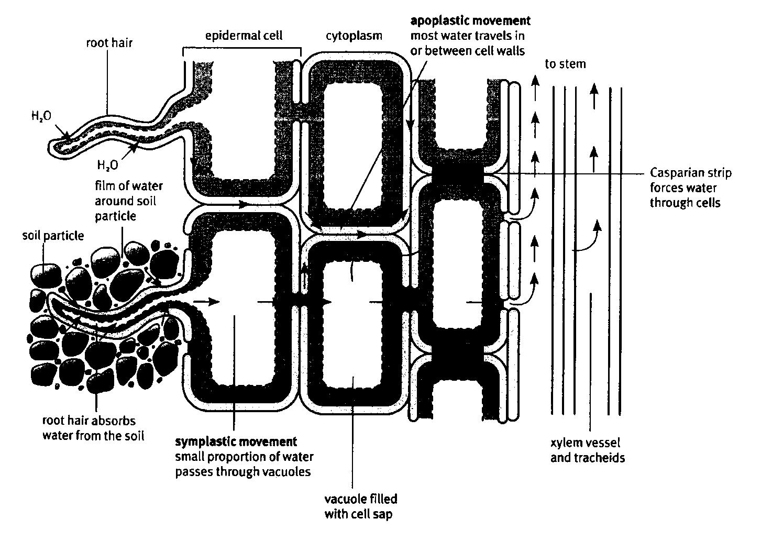 Meristematic Tissue 2 1 1