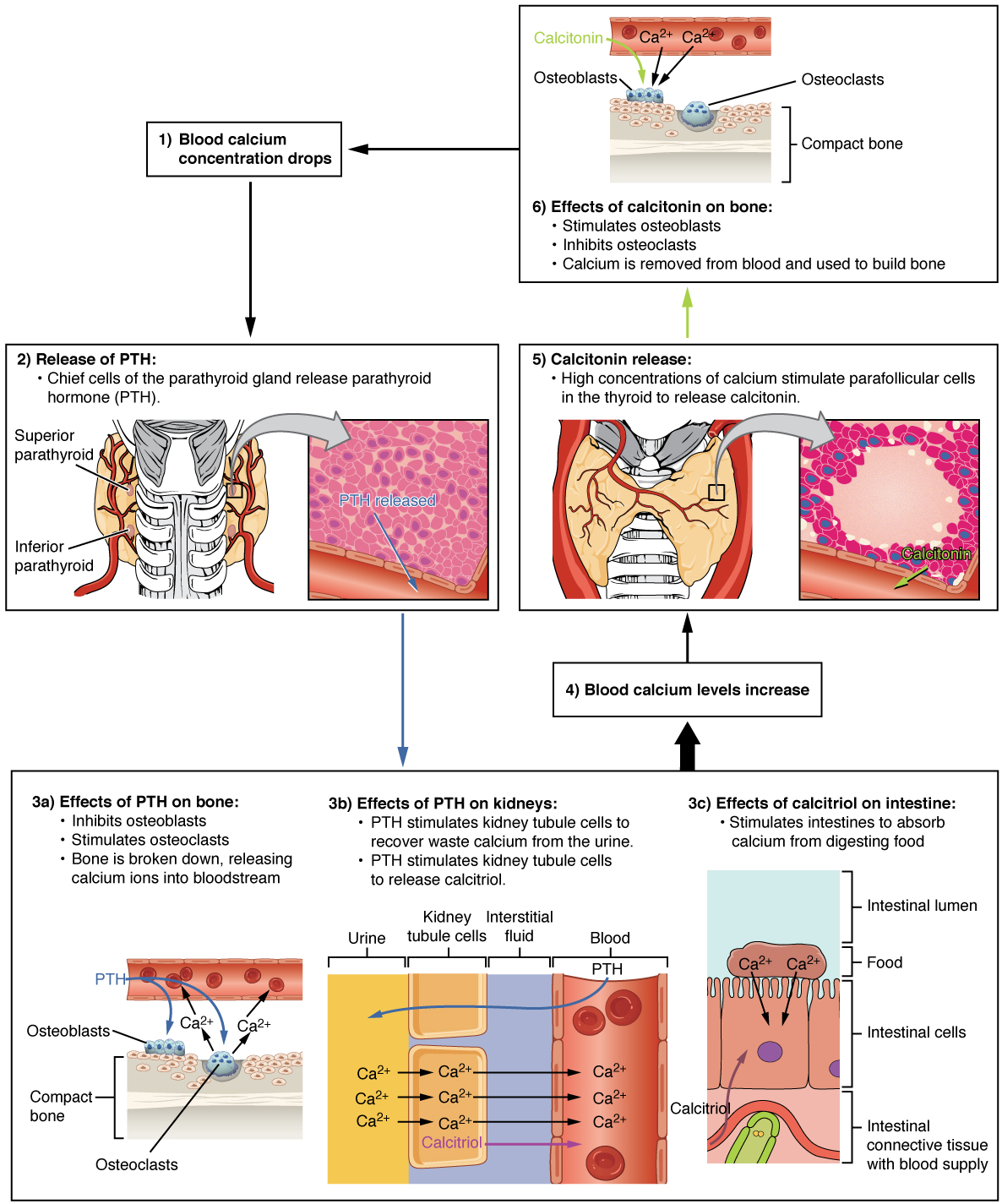 17 5 The Parathyroid Glands The Endocrine System By