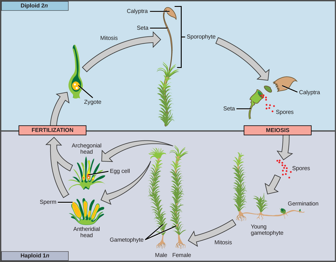 Gametophytes In The Seedless Plants By Openstax Page 3 13