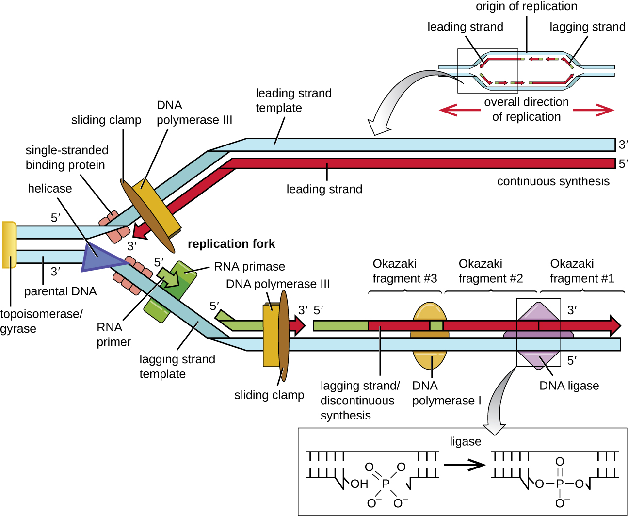 11 2 Dna Replication Mechanisms Of Microbial Genetics By