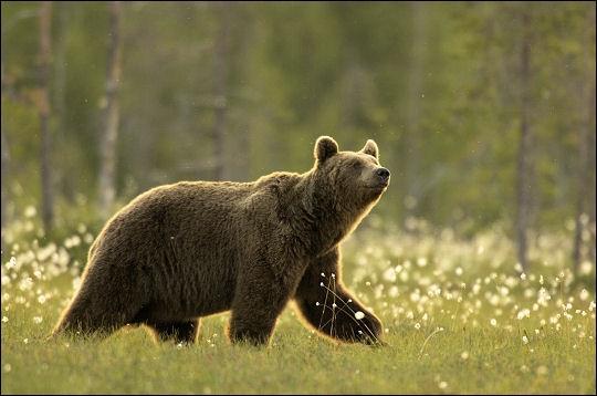 Les ours stressés par la chasse