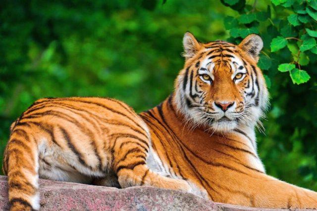Riesgo medio: Tigres, gatos y perros