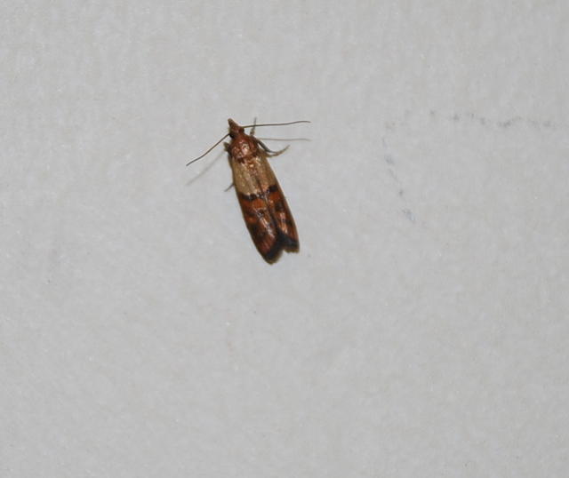 small brown flying bugs in bedroom tiny brown flying bugs in bedroom psoriasisguru 20861
