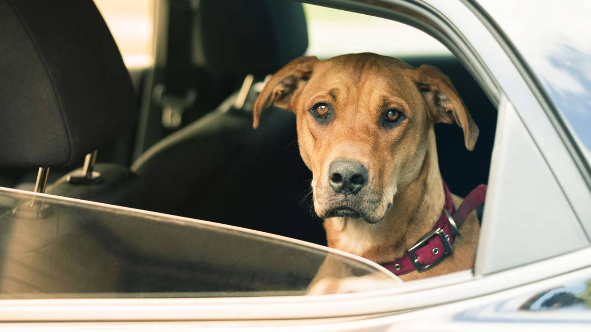 Dog looking sad in the back of a car