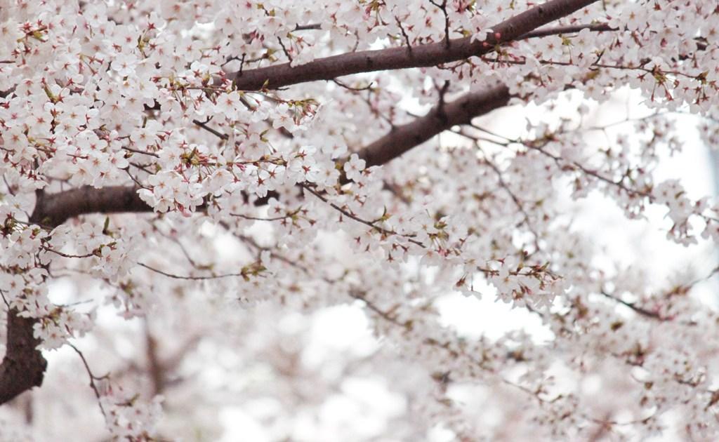 桜 写真素材