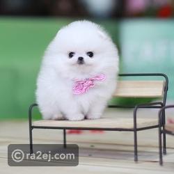 صور: أجمل وأصغر الكلاب التى يمكن أن ترها في حياتك.. تخطف القلوب 🐾