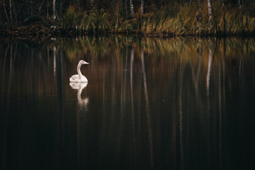 Swan - Tiina Lämsä