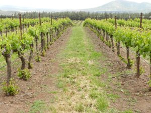Organic_Vineyard_in_the_Golan_Heights